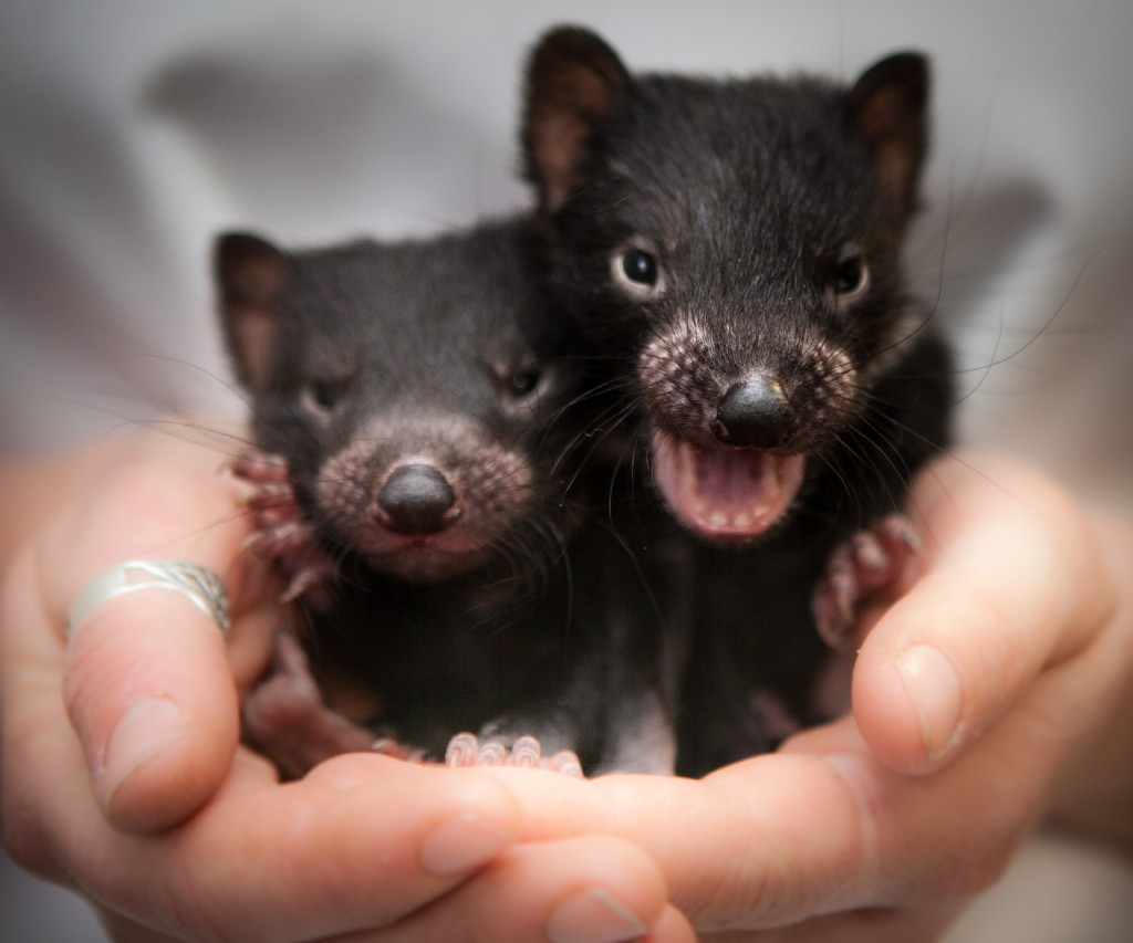 20 years with disease tasmanian devil faces extinction central