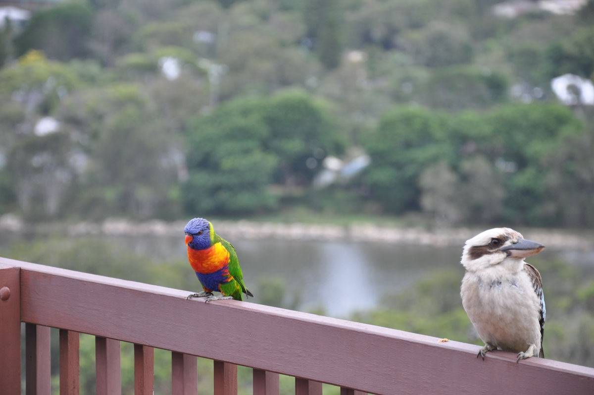 Rosella and Kookaburra