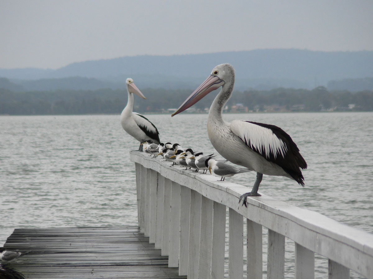 Pelicans and Fishing at Long Jetty