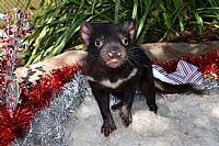 Sydney's Heat Wave Sees Australian Reptile Park's Tassie Devils Frolic in an Icy Winter Playground Enjoying an Early Christmas Lunch