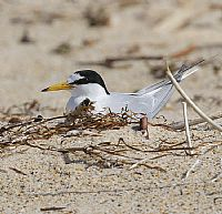 Little Terns on track for record breeding season