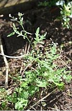 Parthenium Weed Found on the Central Coast