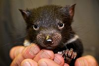 Australian Crowdfunding Campaign to Save the Tassie Devil Takes Off with a Major Boost from the Americans